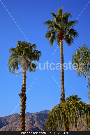 Fan Palms Trees Palm Springs California stock photo, Fan Palms Trees Palm Springs California washingtonia filifera by William Perry