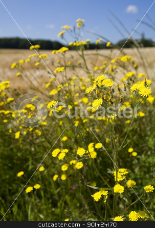 summer field stock photo, Meadow with yellow flowers by klenova