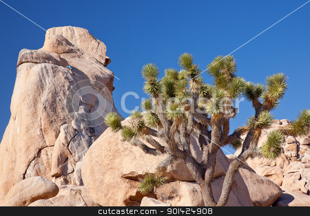 Rock Climb Yucca  Brevifolia Mojave Desert Joshua Tree National  stock photo, Rock Climber Joshua Tree Big Rocks Yucca Brevifolia Mojave Desert Joshua Tree National Park California Named by the Mormon Settlers for Joshua in the Bible because the branches look like outstretched hands by William Perry