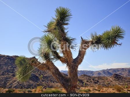 Yucca  Brevifolia Mojave Desert Joshua Tree National Park Califo stock photo, Joshua Tree Landscape Yucca Brevifolia Mojave Desert Joshua Tree National Park California Named by the Mormon Settlers for Joshua in the Bible because the branches look like outstretched hands by William Perry