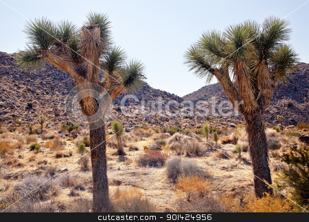 Trees Yucca  Brevifolia Mojave Desert Joshua Tree National Park  stock photo, Joshua Trees Landscape Yucca Brevifolia Mojave Desert Joshua Tree National Park California Named by the Mormon Settlers for Joshua in the Bible because the branches look like outstretched hands by William Perry