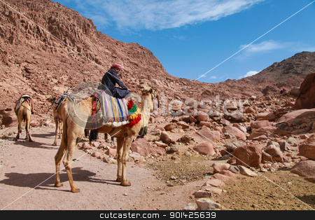 camel guide stock photo, EGYPT - FEBRUARY 5: Camel guide climbing to Mount Sinai on February 5, 2011 in St Catherine's district, Egypt. Camels are often used to assist fatigued tourists climbing the 2285m summit. by Paul Prescott