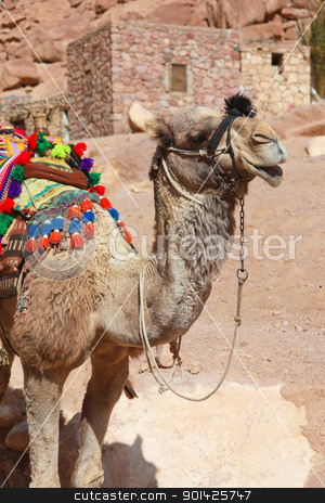 Camel stock photo, Colourful camel dressed for tourists outside St Catherine monastery in Egypt by Paul Prescott