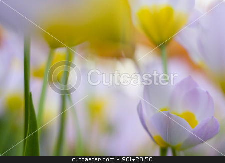 abstract tulips stock photo, Romantic defocused colorful tulips by klenova