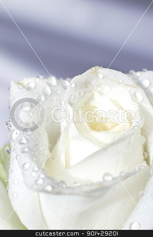 Macro image of a white rose  stock photo, Macro image of a white rose with water droplets by sutike