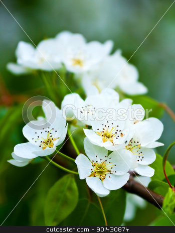 Flowers stock photo, Beautiful white flowers in close up by ARPAD RADOCZY