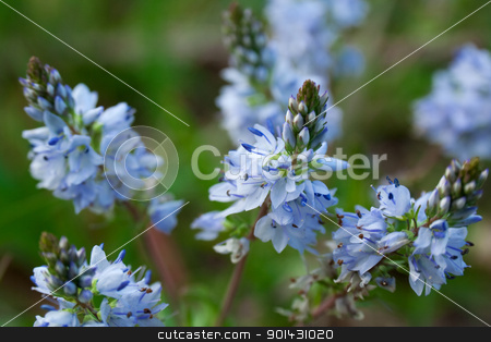 Small blue flowers stock photo, Small blue flowers by vtorous