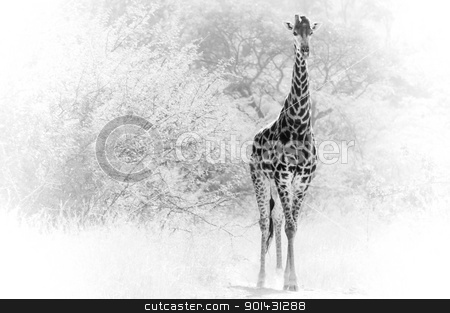 Giraffe Single stock photo, Giraffe comming out of the bushes. by teusrenes