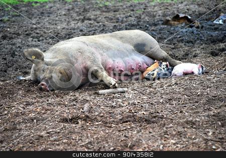 Pig nursing. stock photo, Pig nursing her newborn babies. by OSCAR Williams