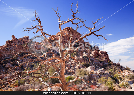 Dead Twisted Tree Hidden Valley Mojave Desert Joshua Tree Nation stock photo, Dead Twisted Tree Hidden Valley Mojave Desert Joshua Tree National Park California by William Perry