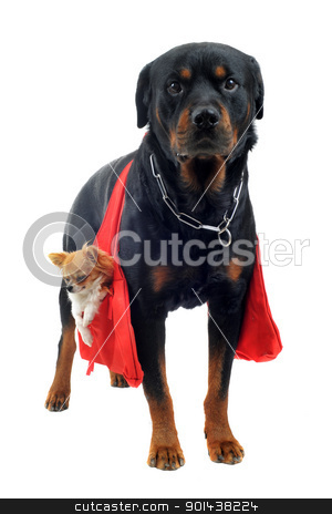 rottweiler holding a chihuahua stock photo, portrait of a purebred rottweiler who holding a chihuahua in a bag in front of white background by Bonzami Emmanuelle