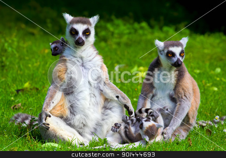 Lemur Catta Family stock photo, Family of the ring-tailed lemurs (latin name: Lemur catta) on the green meadow by Rognar