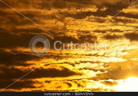Geese flying at Sunset stock photo, Canadian Geese flying into the sunset. by Delmas Lehman