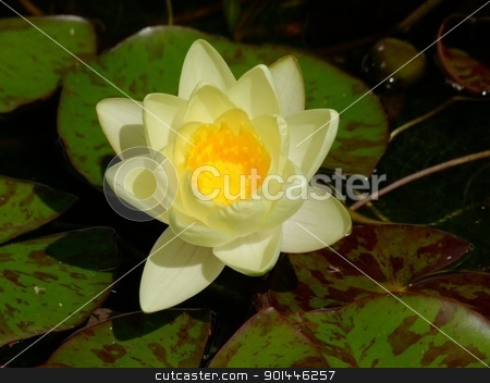 Waterlily stock photo, Beautiful Waterlily on pound in park by Zvonimir Atletic