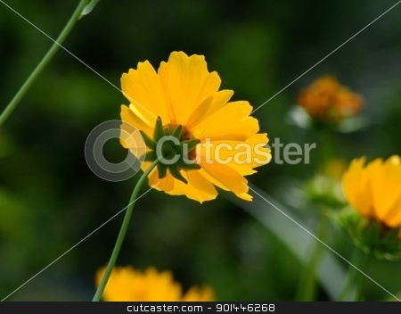 Yelow flower stock photo, Yelow flower by Zvonimir Atletic