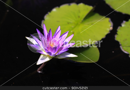 Water lily stock photo, Purple water lily flower and leaves in the pond by Sreedhar Yedlapati