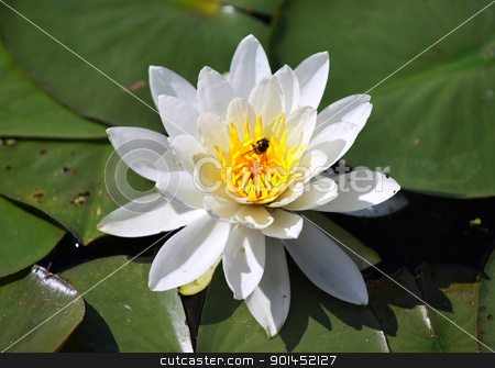 Water lily stock photo, Close up shot of water lily flower and leaves by Sreedhar Yedlapati