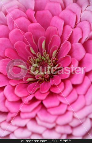 Pink Zinnia flower stock photo, Extreme close up shot of pink zinnia flower by Sreedhar Yedlapati