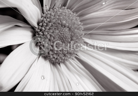 Daisy flower stock photo, Close up shot of daisy flower in sepia color tone by Sreedhar Yedlapati