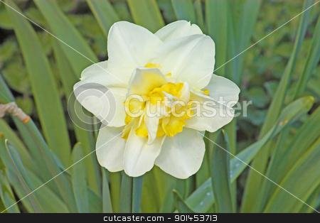 Narcissus flower stock photo, White narcissus flower in the garden by Borislav Marinic