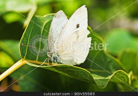 cabbage butterfly, Pieris brassicae stock photo, cabbage butterfly, Pieris brassicae by Hans-Joachim Schneider