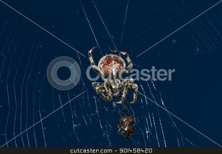 garden spider with victim stock photo, garden spider, Araneus diadematus by Hans-Joachim Schneider