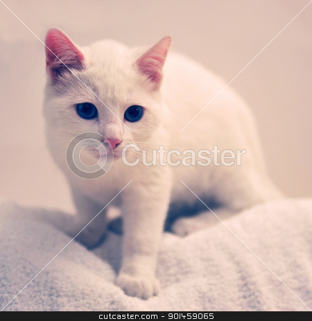 white cat stock photo, beautiful white cat in front of white background by Bonzami Emmanuelle