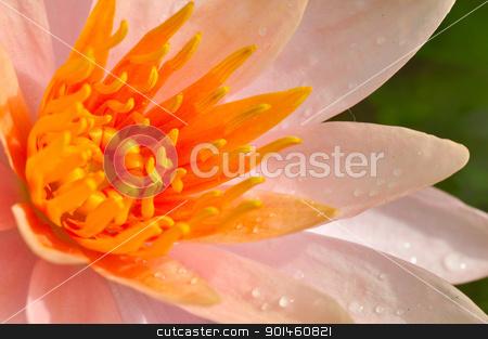 orange lotus stock photo, orange lotus by Komkrit Muangchan