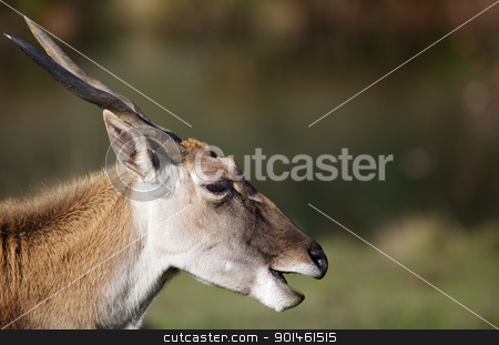 Antelope Head stock photo, Horned head of an adult black buck antelopez by bobkeenan
