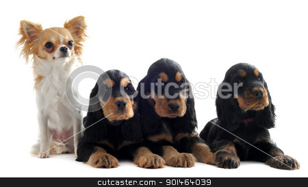 english cockers and chihuahua stock photo, portrait of three puppies english cockers and a chihuahua in a studio by Bonzami Emmanuelle