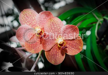 blossom orchid stock photo, blossom orange orchid by Yuttasak Jannarong