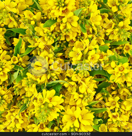 The texture of yellow flowers stock photo, The texture of the inflorescences of campestral of yellow flowers by rezkrr