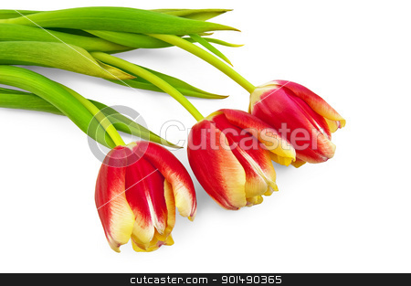Three yellow-red tulips stock photo, Three yellow-red tulip with green leaves isolated on white background by rezkrr