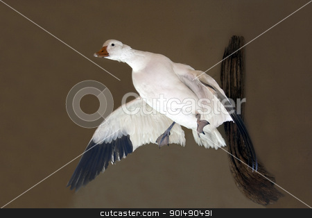 Duck Taxidermy stock photo, A duck that has been mounted via taxidermy by Kevin Tietz