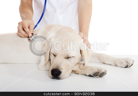 Veterinay taking care of a dog stock photo, Young female veterinary taking care of a beautiful labrador dog by ikostudio