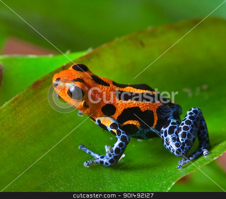 red poison dart frog stock photo, red poison dart frog sitting on green leaf in amazon rain forest of Peru exotic poisonous animal with warning colors rainforest Dendrobates, ranitomeya imitator by Dirk Ercken