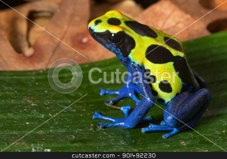 poison dart frog stock photo, poison dart frog with bright yellow blue and black colors, toxic amphibian of amazon rain forest poisonous animal warning colors by Dirk Ercken