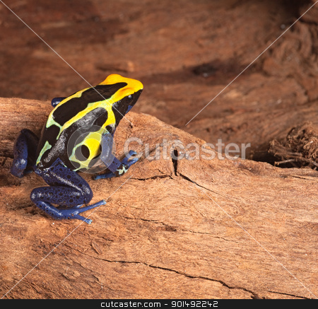 poison dart frog stock photo, poison dart frog in terrarium poisonous pet animal with bright warning colors black yellow and blue,dendrobates tinctorius by Dirk Ercken