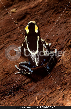 poison dart frog stock photo, frog with black and yellow poisonous animal poison dart frog amazon rainforest by Dirk Ercken