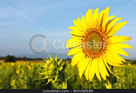 Sunflower field stock photo, Sunflower field by stoonn