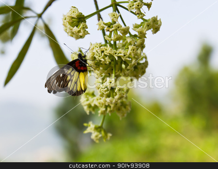 Butterfly on white blossom  stock photo, Butterfly on white blossom in nature Thailand by stoonn