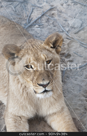 Peaceful Lioness stock photo, Lioness resting in a game reserve, South Africa by Fiona Ayerst Underwater Photography