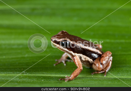 rocket frog cColostethus talamancae stock photo, rocket frog in amazon rain forest tropical exotic amphibian Colostethus talamancae by Dirk Ercken