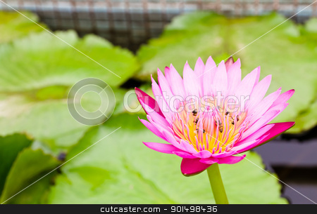 Bees on Water lily stock photo, Bees on Water lily and beautiful red leaf by stoonn