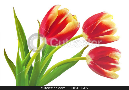 Yellow-red tulips stock photo, Three yellow-red tulip with green leaves isolated on white background by rezkrr