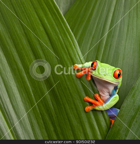 red eyed tree frog  stock photo, curious red eyed tree frog hiding in green background leafs Agalychnis callydrias exotic amphibian macro treefrog  Costa Rica rain forest animal copyspace by Dirk Ercken