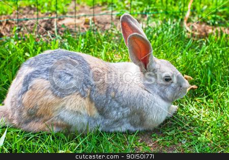 rabbit stock photo, one fluffy rabbit lying at green grass by olinchuk