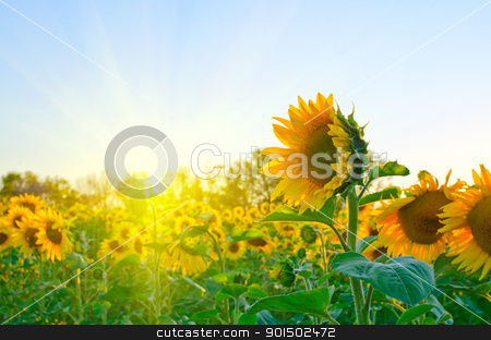 sunflowers stock photo, beautiful sunflowers at field with blue sky and sunburst by olinchuk
