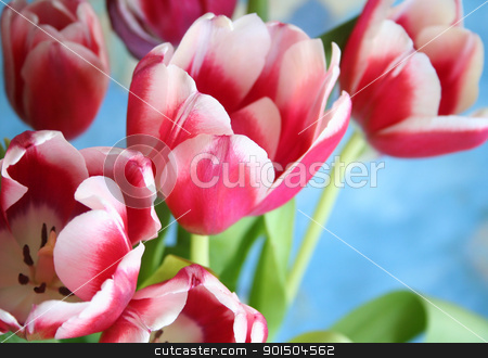 Bouquet of the fresh tulips on the blue background stock photo, Bouquet of the fresh pink tulips on the blue background by Morozova Oxana