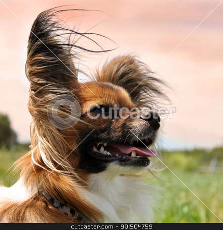 papillon dog stock photo, portrait of a purebred papillon dog in the evening light by Bonzami Emmanuelle